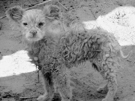 狗R的..府谷一羊妈妈产下狗崽崽 专家称可能是畸形。。。