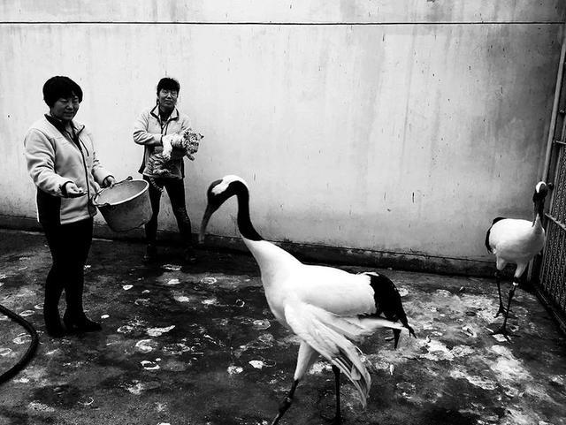 鹤饲养场指导年轻的
