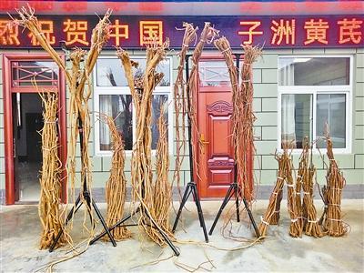 子洲全县年产黄芪8000吨 产值7.2亿元