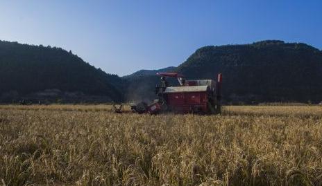 富县直罗镇2700亩水稻开镰收割
