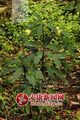 警惕!安康一名4岁儿童误食野八角花中毒身亡