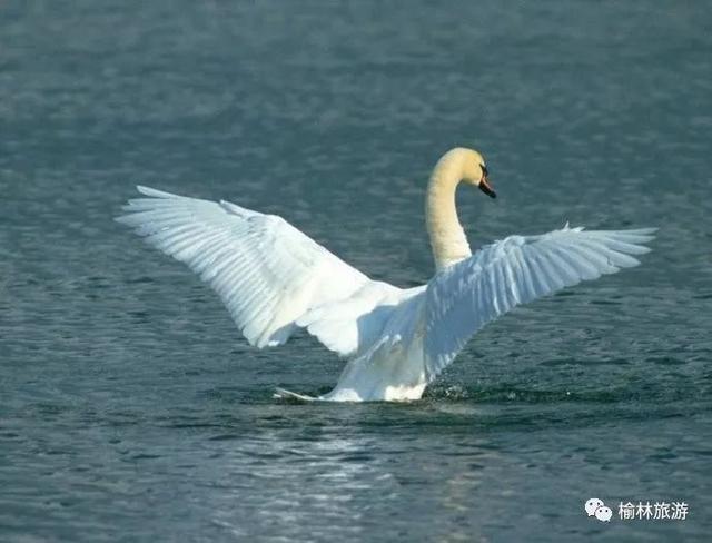 再过十天,榆林这里就要变成白天鹅的天堂