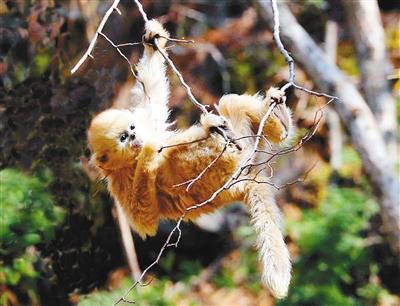 春回大地天气转暖 佛坪野生金丝猴闹得欢