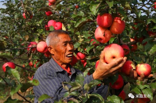 米脂加大山地苹果补贴 千亩以上示范园奖10万