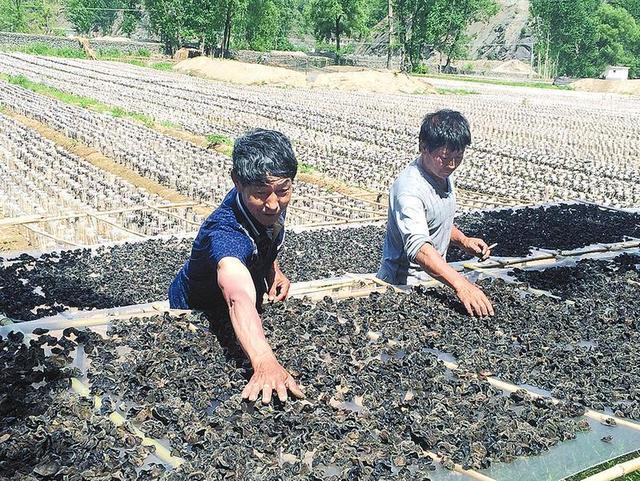 柞水县肖台村村民栽黑木耳3个月产值达70万元