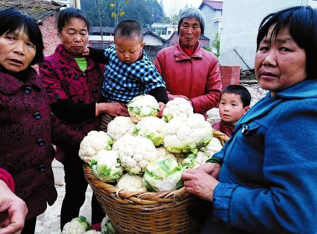 汉中优质菜花价格低贱 一毛钱一斤都没人要