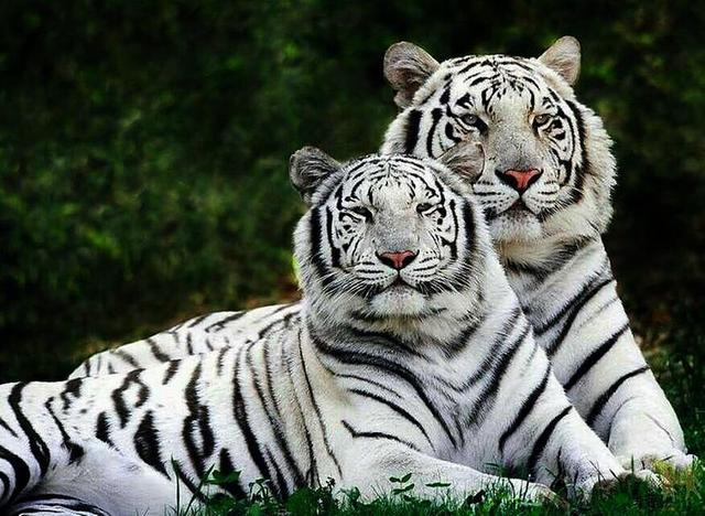 西安秦岭野生动物园里的孟加拉白虎   作为西北地区首屈一指的动物园,西安秦岭野生动物园颇负盛名。但大多数去过秦岭野生动物园的游客,都觉得这张100元的大门票花得不那么值。   就在去年下半年,国家旅游局启动史上最严整肃风,对全国4A级及以下景区进行集中复核检查。2016年12月5日,陕西有8家景区分别受到摘牌、警告和通报批评的处理。西安秦岭野生动物园作为一家典型的4A级景区,受到国家旅游局的通报批评也并非偶然。   1、记者眼里的秦岭野生动物园   1月4日,记者乘坐公交车前往西安秦岭野生动物园。