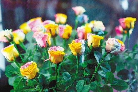 高科技打造世园五彩斑斓永不褪色的彩虹玫瑰