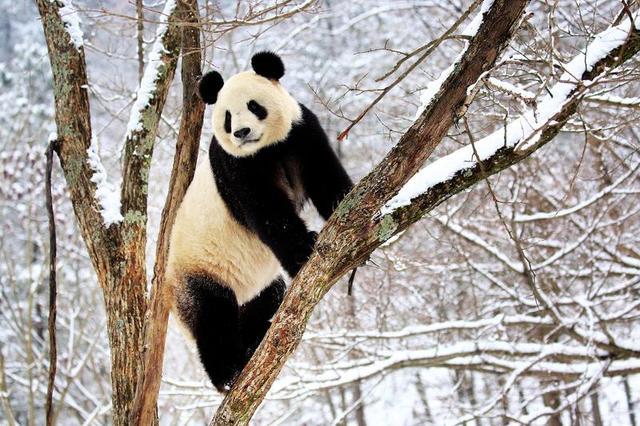 大熊猫金丝猴雪中卖萌 迎接新年
