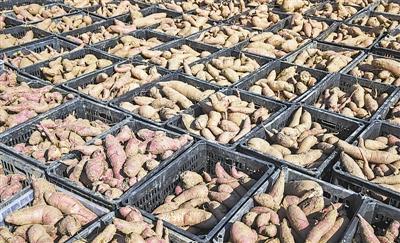 """1公斤30块 延长县火焰山红薯卖出""""猪肉价"""""""