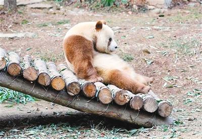 世界唯一存活的棕色大熊猫在佛坪过第二个冬天