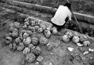 西瓜使用膨大剂爆炸 引发食品安全焦虑