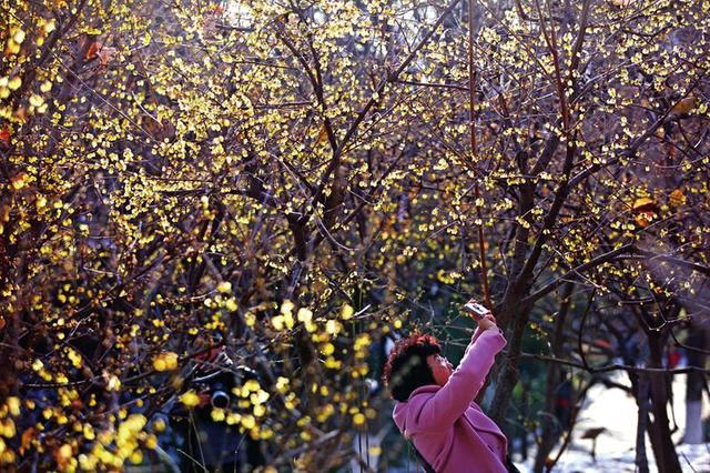 兴庆宫公园300多株腊梅盛开 周末带家人寻梅去