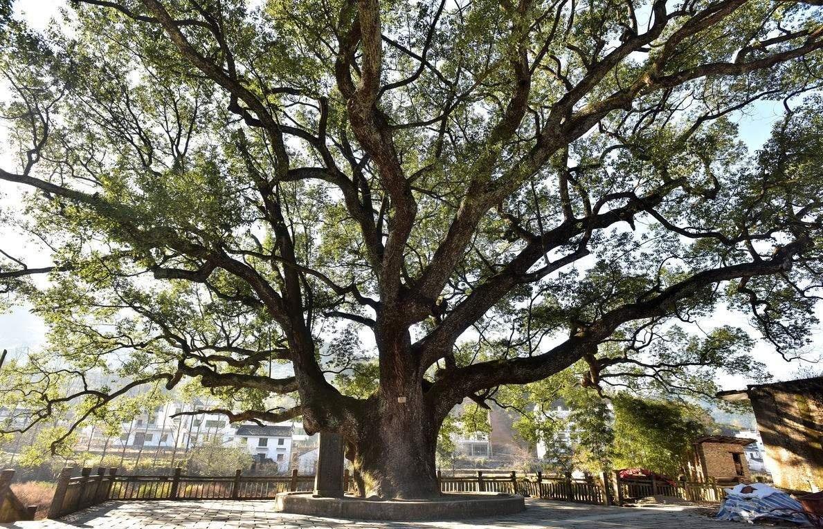 榆林这些神奇古树你都见过吗?