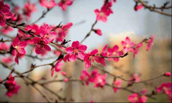 """万紫千红赏花季 西安这些地方赏花""""醉""""美"""