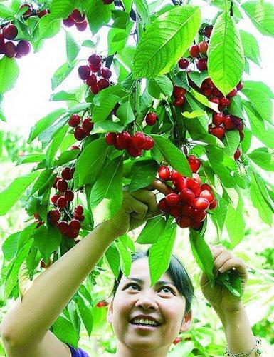 西安灞桥樱桃旅游节
