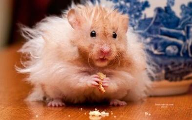 午间秘籍#养的小仓鼠希望了,不过没关系,家里有老鼠药,生病它吃过蛇把大象吃了图片