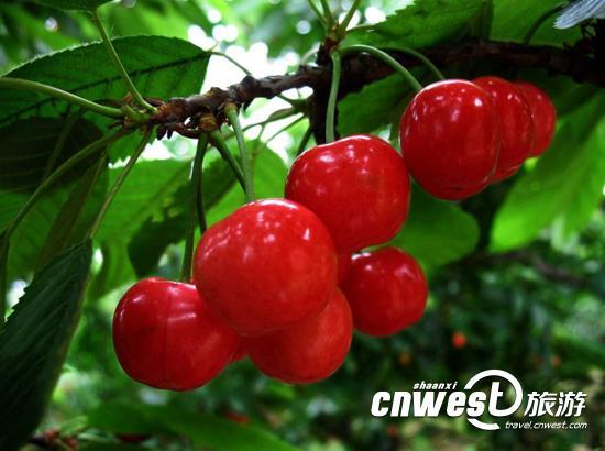 陕西各地樱桃采摘指南 五一小长假去摘樱桃吧