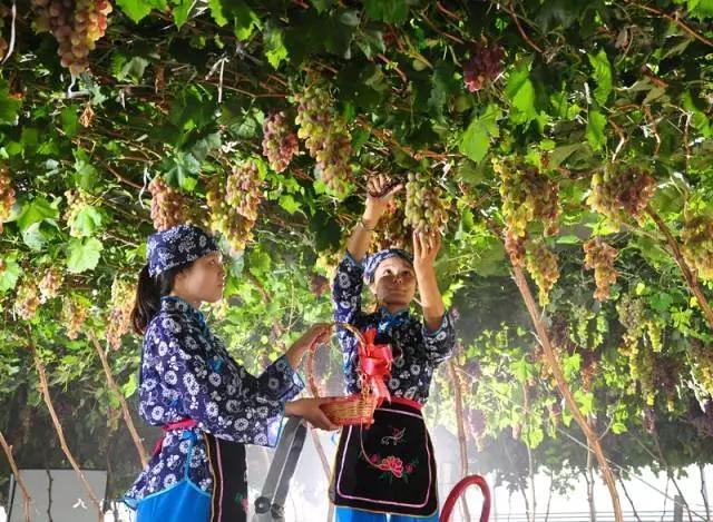 周末好去处 渭南葡萄产业园、渭曲社5月开放