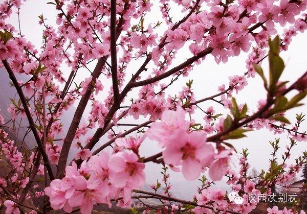 春来桃花人面相映红 陕西赏桃花全攻略