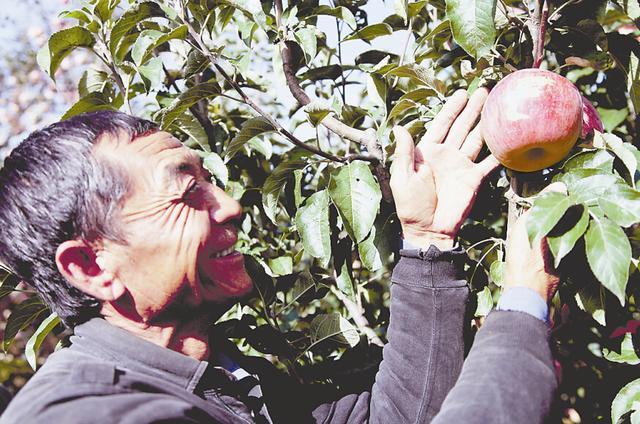 绥德一苹果重688.1克被选果王 果农获奖3万元