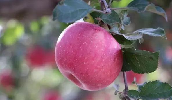 宜川云岩镇条纹红苹果招客商 收购价2块2