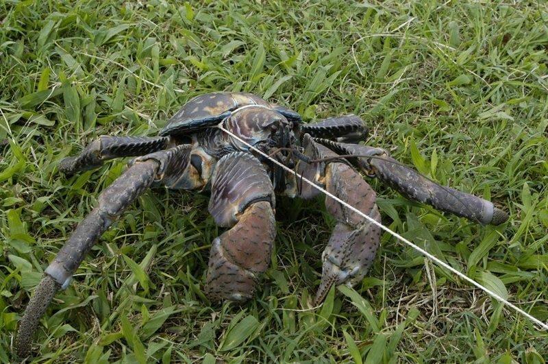 6千克,是现存最大型的陆生节肢动物.椰子蟹的外壳坚硬,有两只