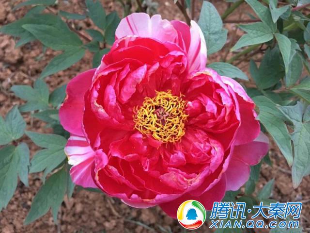 洋县 :3000万株牡丹花盛放迎春