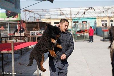 中国藏獒暴富神话落幕背后