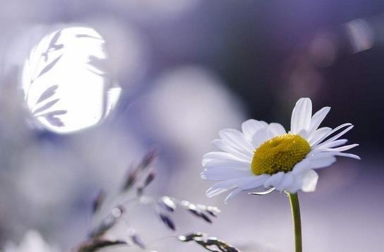 蜜恋花海,媲美阿姆斯特丹雏菊的人间仙境