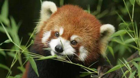 """呆萌小熊猫首度安家益阳 于""""十一""""与游客见面"""