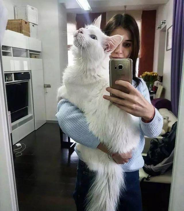 漂亮的缅因猫喜欢被主人抱 结果越抱越傲娇