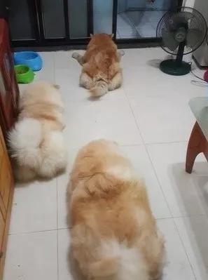 三只汪排着队等主人下班 只因主人说过一件事