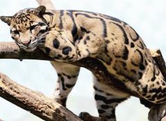 温州永嘉山区有云豹出没?林业部门:这是豹猫