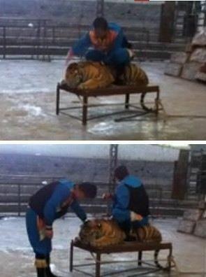 台州动物园员工骑虎猛打头 猛虎变小猫