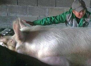 温州迎来新猪王