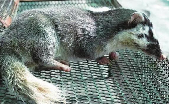温州现珍稀动物鼬獾 被咬伤或危及生命