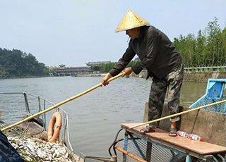 义乌江已打捞约10吨死鱼