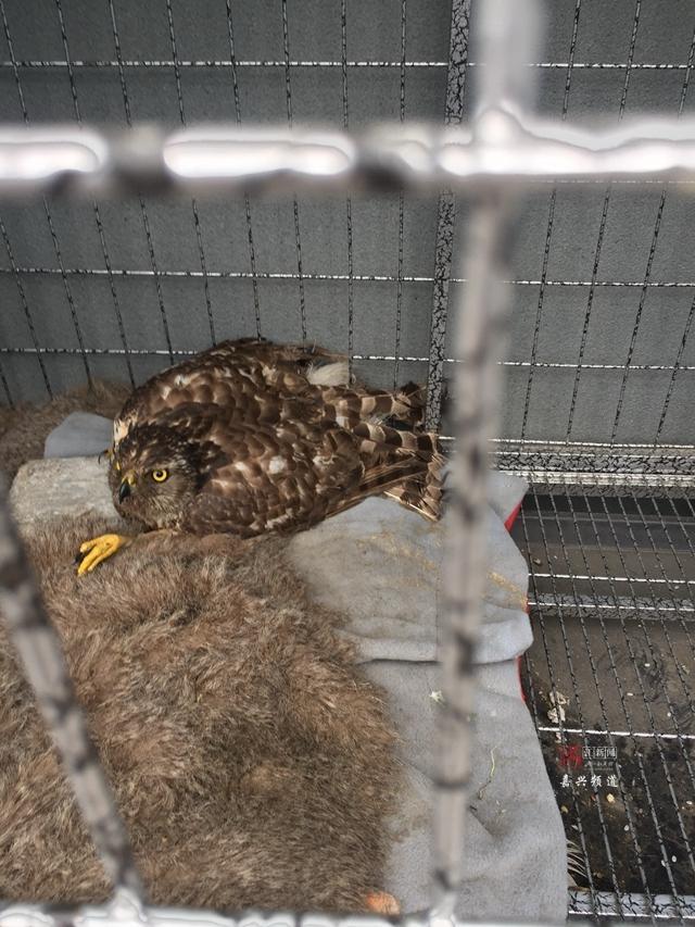 嘉兴民警救下的大鸟是国家二级保护动物