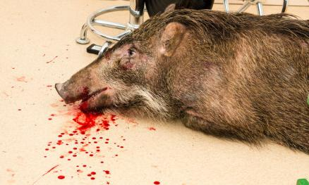 """撞上玻璃后,小野猪鼻子流血. 据网友""""钓鱼人""""微博"""