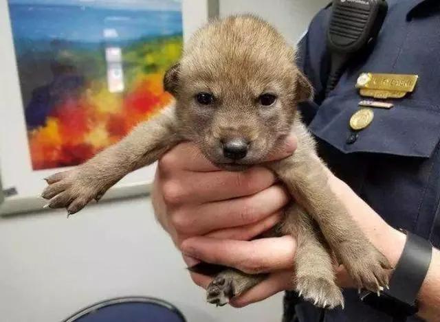 好心人捡到一只小奶狗 警察晚上找上门:这不是狗啊