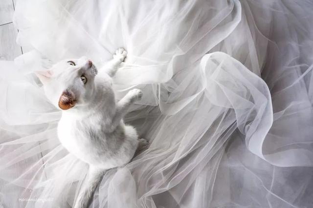 她拍婚纱照带上了自家猫咪 意外地很美!