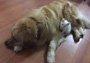 金毛叼回一只猫