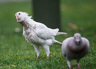 西湖白鸽冒雨觅食狼狈不堪