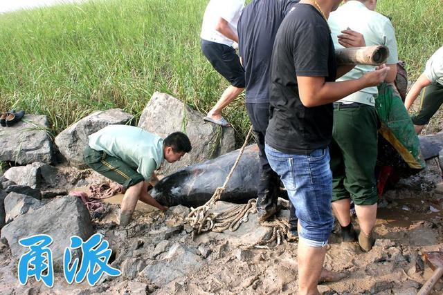 宁波惊现鲸鱼搁浅