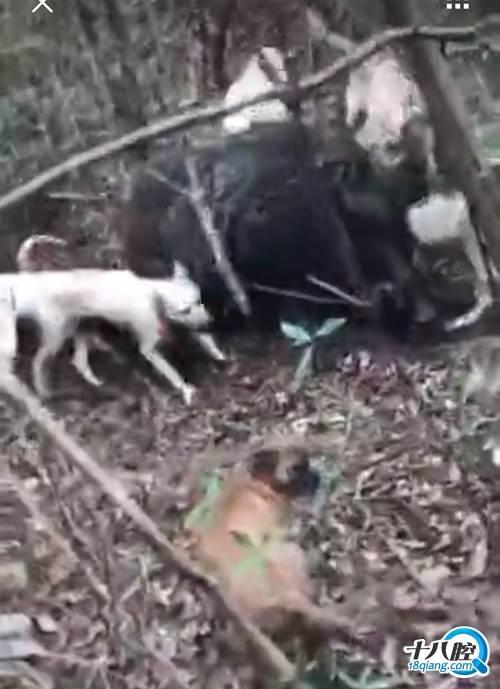 义乌村民用1万一只的猎狗 抓到300斤超大野猪