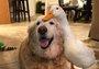 大金毛的跨物种友谊