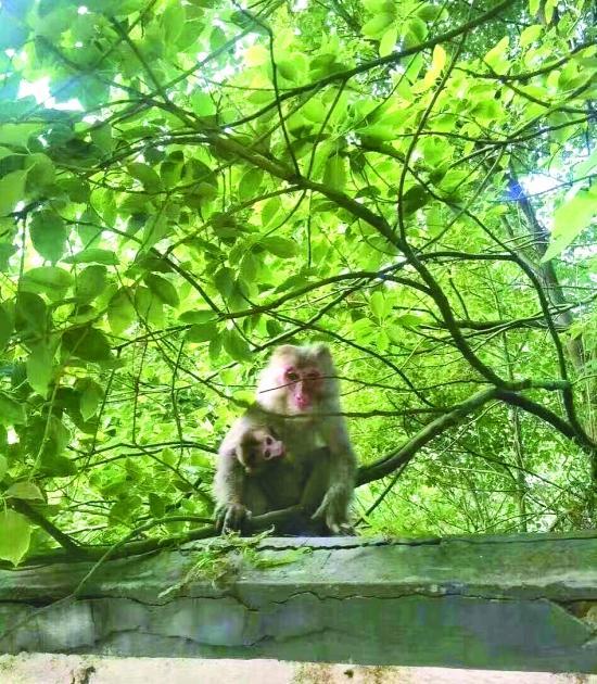 衢州高级中学来了一对猴母子俨然成了校园明高中链不等式图片