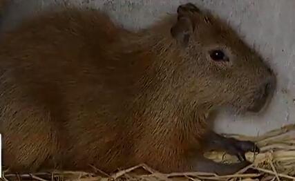 大鼠类动物名称及图片