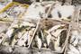"""水产城码头发现4110多公斤河豚鱼,经营户不敢来认领""""width="""